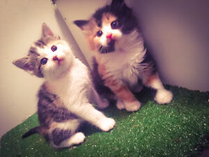 Beautiful Ragdoll Cross Kittens <3