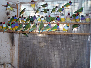 Gouldian Finches London Ontario image 1
