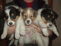 Rough Collies 1 females and 2 males