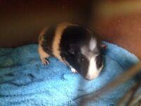 Lovely male Guinea pig