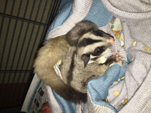 2 male sugar gliders for rehoming including cage