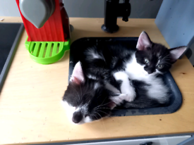 REDY TO GO NOW BEAUTIFUL KITTENS