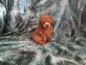 Registered toy poodle puppies