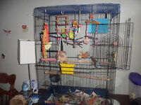 3 Budgies with large cage