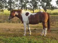nearly bomb proof pinto lesson pony for sale! nearly bomb proof!