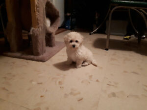 TOY POODLE PUPPY READY NOW !!!!