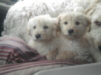 Goldendoodle  Aussiedoodle puppies, Light Gold, Blonde, low shed