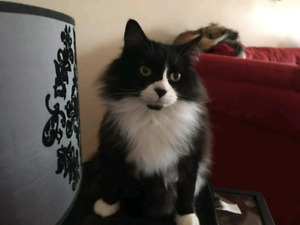 LOST: black & white male longhaired cat
