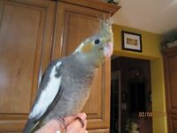♥☆♥☆HAND-FED AND HAND-RAISED COCKATIELS AVAILABLE♥☆♥☆
