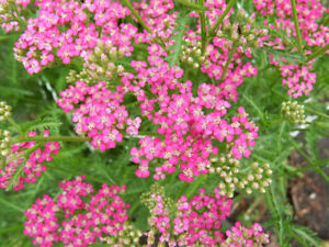Yarrow is a tough perennial that will come back year after year!