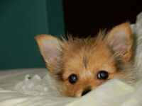 Very Cute Pom/Yorkie Puppy