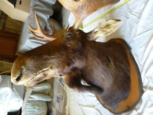Large Mounted Moose Head ( First offer of  $375.00 Takes It )