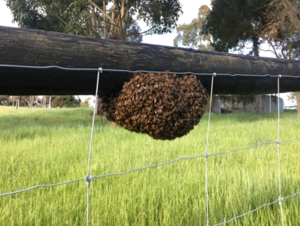 Bee swarm collection and removal