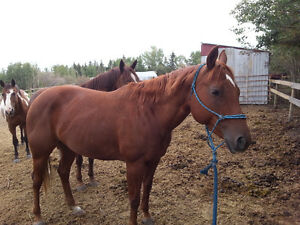 Barrel Racing Prospect Horse
