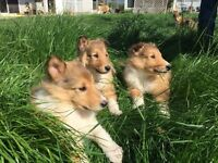 Pure Rough collie puppies