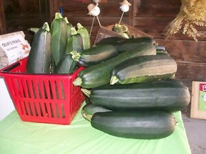 Courgettes vertes/ Zucchinis