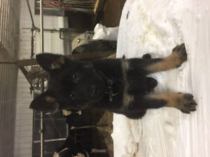 Beautiful CKC registered German Shepherd Female Pup