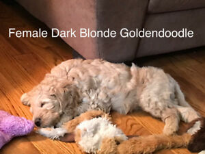 Adorable F1B Goldendoodle Puppies ready to go