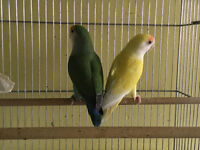 BEAU COUPLE INSEPARABLE NAM APRIVOISEE 18 mois + cage + nid