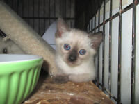 One Male Siamese Kitten- Vet Checked & Vaccinated ...