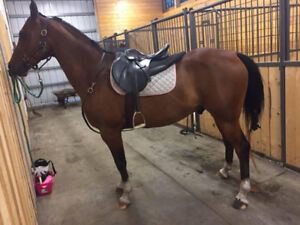 13 Year old Arabian Gelding Available for Partial Lease