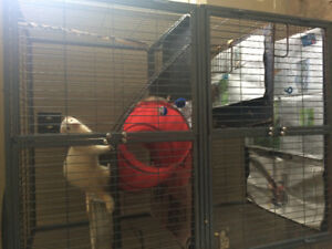 Two friendly ferrets and large cage