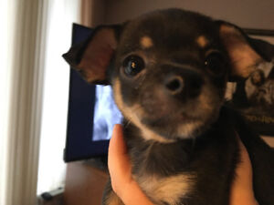 Chihuahua puppies have found their forever homes