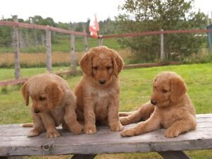 Double Doodle Puppies On The Way