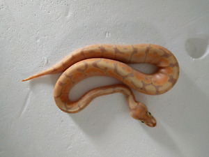 Banana woma ball pythons