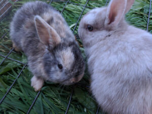 Adorable Mini Lop & Netherland Dwarf Bunny Rabbits Ready to Go