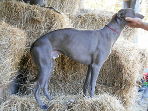 BLUE WHIPPET puppies: CKC registered