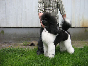 Standard POODLES -RARE AND UNIQUE..PRICE REDUCED!