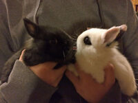 Young Hotot Dwarf cross rabbits for sale