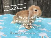 Mini lops bucks available vhd2 vaccinated