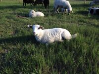 Naturally Raised Lamb Meat For Sale