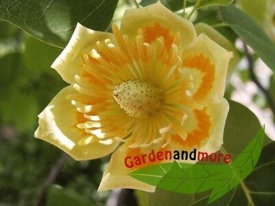 Gartenbaum immergrün farbenfroh ganzjährige exotische Samen  TULPENBAUM
