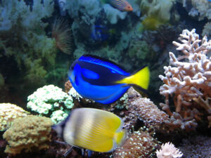 Poisson Blue Tang