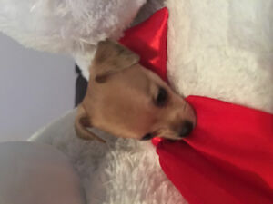 TINYEST BABY FEMALE CHIHUAHUA