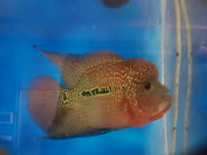 flowerhorn in Melbourne Region, VIC | Fish | Gumtree Australia Free