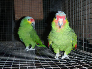 Red-lored Amazons