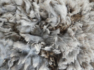 Raw Unwashed Shetland Fleeces Great for Hand Spinning