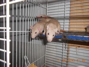 vend plusieurs  rats rex domestiques males et femelles