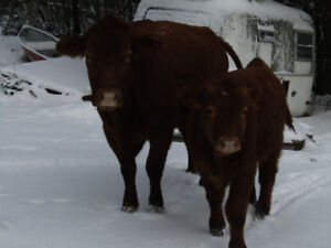 Hobby Farm Limo and Limo Hereford cross Cattle