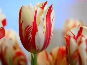 Fall Bulb (TULIPS) Blowout: Save 50-70% OFF ENTIRE INVENTORY Kitchener / Waterloo Kitchener Area image 5