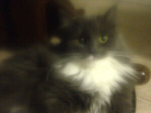 Affectionate female cat - Spayed & microchipped
