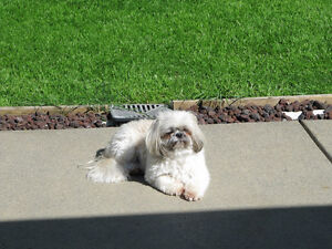 DOGGIE LOVE~SMALL DOG SITTING~MY HOME~CLOVERDALE SURREY Delta/Surrey/Langley Greater Vancouver Area image 7