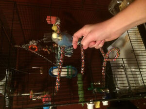 Looking For Male Budgie
