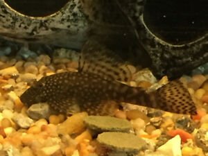 "5 of 2"" Spotted Pleco and Bristlenose Pleco Cross"