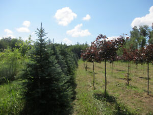 Cut Your Christmas Tree at Curly Creek Farm