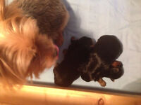 Adorable Yorkie Puppies for sale